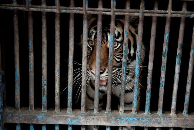 https: img.okezone.com content 2021 08 01 481 2449168 2-harimau-di-ragunan-terinfeksi-covid-19-ini-penjelasan-pakar-kesehatan-7VtQ62plbs.jpg