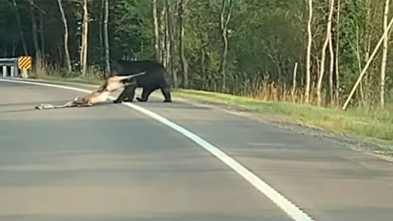 https: img.okezone.com content 2021 08 05 406 2451409 beruang-menyeret-rusa-di-jalan-terekam-kamera-begini-penampakanya-QSF0iaYPEa.jpg