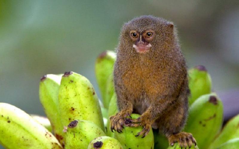https: img.okezone.com content 2021 08 07 612 2452278 sejumlah-bayi-satwa-lahir-selama-pandemi-salah-satunya-primata-terkecil-dunia-zjyqB7etLX.jpg