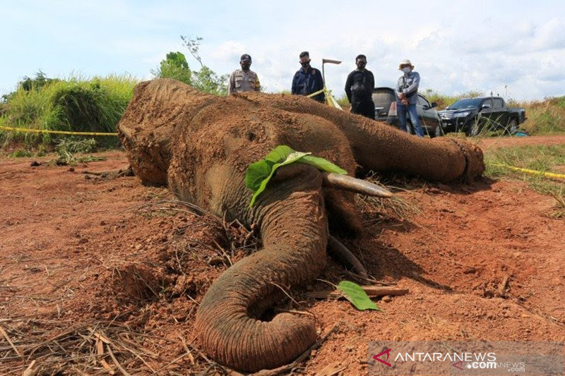 https: img.okezone.com content 2021 08 12 340 2454821 miris-46-gajah-di-aceh-mati-kurun-7-tahun-penyebabnya-perburuan-konflik-dengan-manusia-E2un9elgPj.jpg