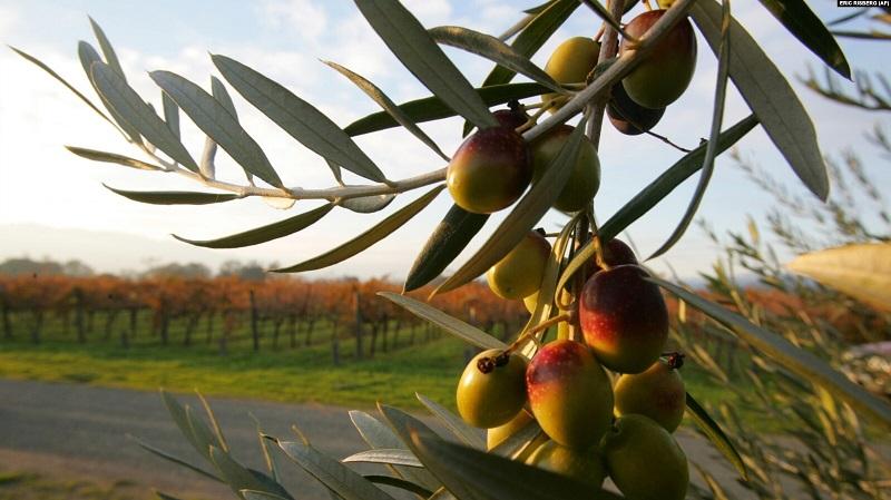 https: img.okezone.com content 2021 08 15 56 2455820 cara-petani-yunani-membuat-pohon-zaitun-bertahan-di-tengah-gelombang-panas-fCJPSFG9bj.jpg