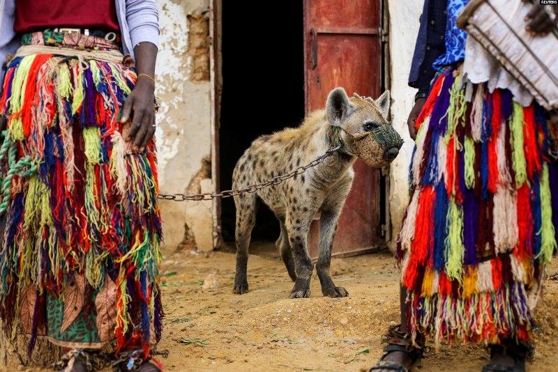 https: img.okezone.com content 2021 08 19 406 2458045 hyena-jadi-hewan-peliharaan-di-nigeria-kotorannya-dijadikan-obat-UPXqDjOun2.jpg