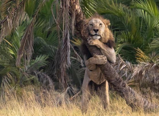 https: img.okezone.com content 2021 08 26 406 2461270 fotografer-rekam-momen-singa-memeluk-pohon-ekspresinya-lucu-banget-80Eima9JyE.JPG