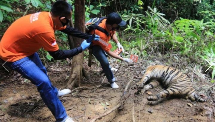 https: img.okezone.com content 2021 08 27 340 2462159 tragis-induk-harimau-dan-2-anaknya-mati-berdampingan-akibat-jebakan-babi-4U1a9RKfMF.jpg