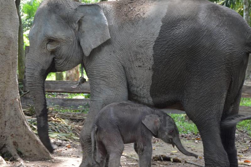 https: img.okezone.com content 2021 09 01 406 2464724 pertama-dalam-sejarah-sepasang-bayi-gajah-kembar-lahir-di-panti-asuhan-jJQoXOTR23.jpg
