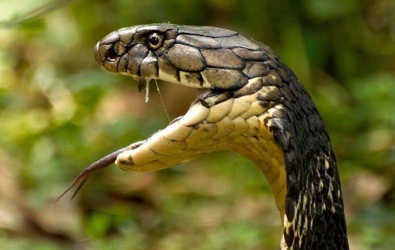 https: img.okezone.com content 2021 09 03 406 2465453 tragis-koki-tewas-usai-penggal-kepala-ular-kobra-begini-faktanya-ONXPJyaFyu.JPG