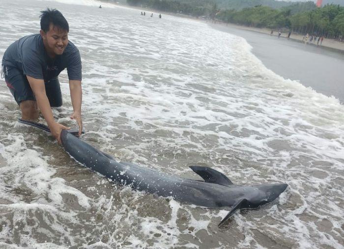 https: img.okezone.com content 2021 09 05 519 2466498 5-ekor-lumba-lumba-terdampar-di-pantai-tulungagung-3-dalam-kondisi-kritis-r86D4lQDxd.JPG