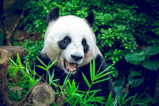 https: img.okezone.com content 2021 09 07 406 2467619 panda-raksasa-melahirkan-sepasang-bayi-kembar-china-kirim-pakar-persalinan-0mottkD7wN.jpg