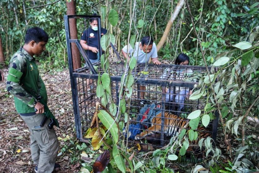 https: img.okezone.com content 2021 09 10 340 2469009 harimau-diduga-pemangsa-manusia-di-riau-berhasil-ditangkap-4EpdnwkhF9.jpg