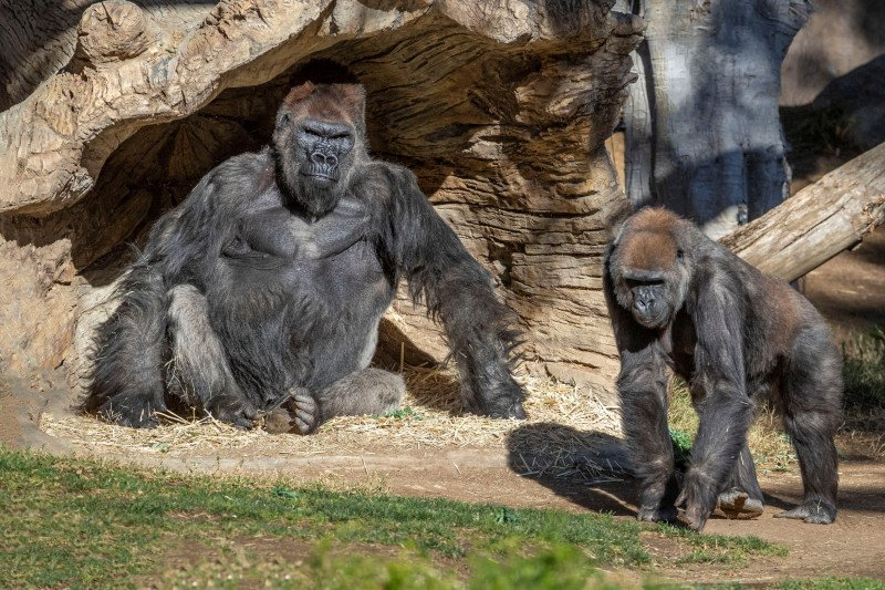 https: img.okezone.com content 2021 09 13 406 2470687 alami-batuk-pilek-13-gorila-ini-ternyata-positif-covid-19-7tiyw6iZa1.jpg