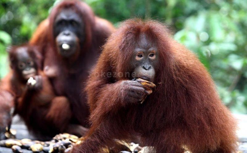 https: img.okezone.com content 2021 09 13 406 2470720 30-orangutan-kalimantan-dites-swab-apa-hasilnya-Ge67b9uvjS.jpg