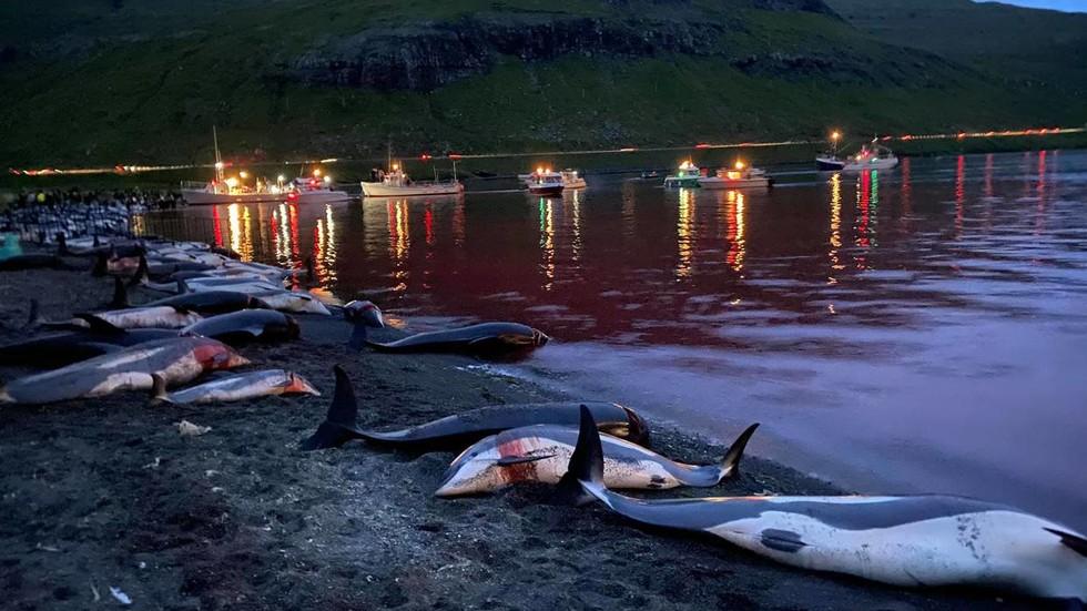 https: img.okezone.com content 2021 09 14 18 2471215 1-500-lumba-lumba-dibunuh-dalam-perburuan-paling-berdarah-tuai-kecaman-aktivis-hewan-Wy92J8WYmG.jpg