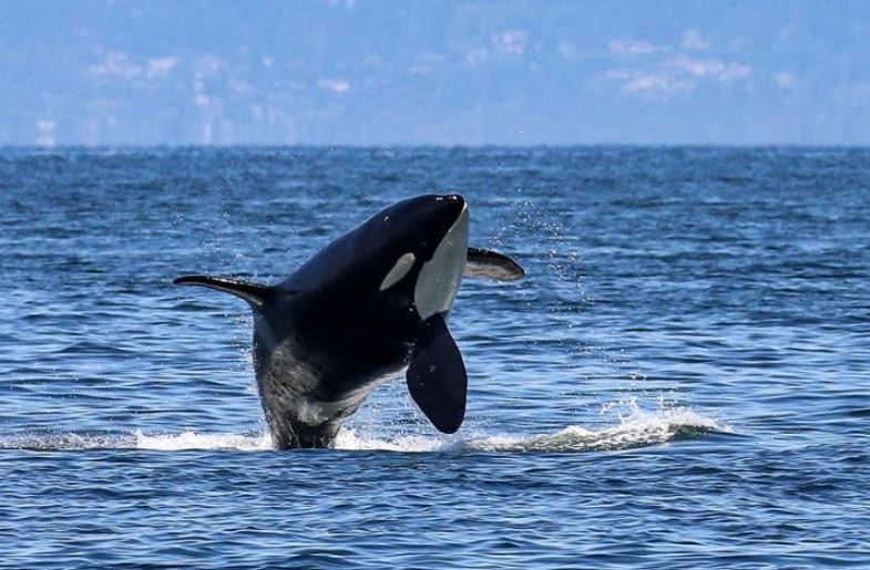 https: img.okezone.com content 2021 09 14 406 2470935 paus-paling-kesepian-di-dunia-stres-hingga-benturkan-kepalanya-ke-tangki-t9dnpUhm8H.JPG