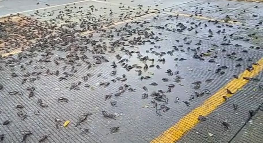 https: img.okezone.com content 2021 09 14 525 2471152 bikin-heboh-ratusan-burung-pipit-mati-di-depan-balai-kota-cirebon-Iehb6aobO6.JPG