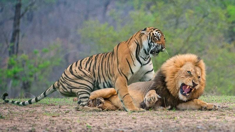 https: img.okezone.com content 2021 09 18 406 2473347 semua-singa-dan-harimau-di-kebun-binatang-ini-positif-covid-19-kasihan-si-raja-hutan-UIe03wJY4g.jpg