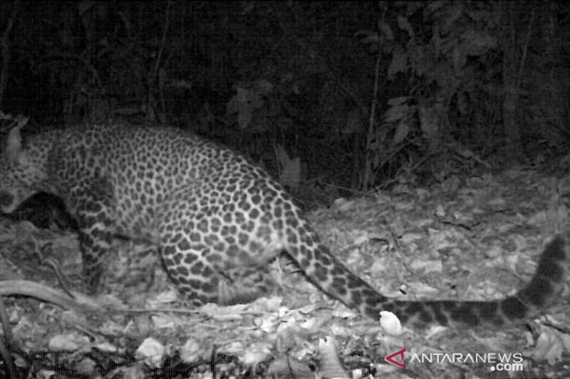 https: img.okezone.com content 2021 09 20 620 2474332 penampakan-macan-tutul-terekam-kamera-di-gunung-sanggabuana-karawang-So4WuP7eZA.jpeg