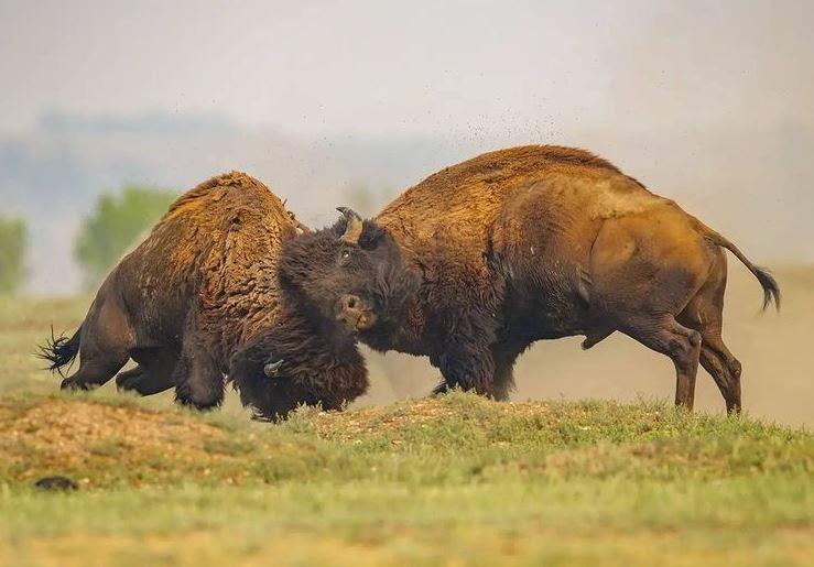 https: img.okezone.com content 2021 09 23 406 2475776 viral-bison-ngamuk-di-tengah-jalan-tanduk-lawannya-hingga-terseret-di-aspal-sW5NY4VsDF.JPG
