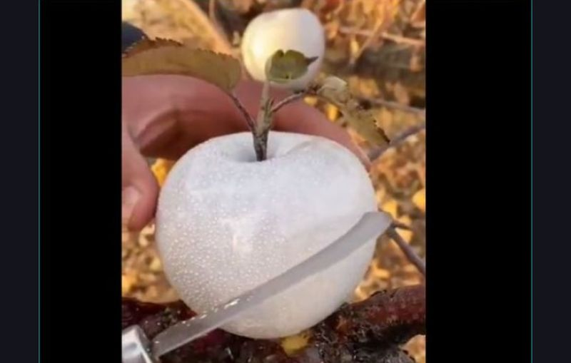 https: img.okezone.com content 2021 09 26 18 2477160 viral-apel-putih-salju-bak-mutiara-2kfaS94YdL.jpg