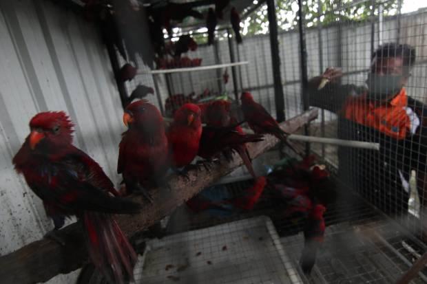 https: img.okezone.com content 2021 10 05 610 2481715 idap-penyakit-flu-belasan-burung-nuri-dimusnahkan-IctAhjqkoH.jpg