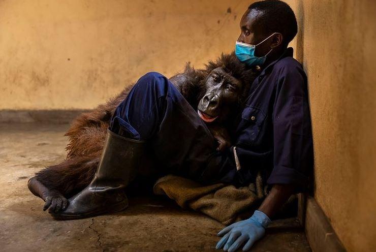 https: img.okezone.com content 2021 10 08 406 2483085 pernah-viral-karena-foto-selfie-gorila-yatim-piatu-ini-mati-di-pelukan-pengasuhnya-6zdRXfMWA9.JPG