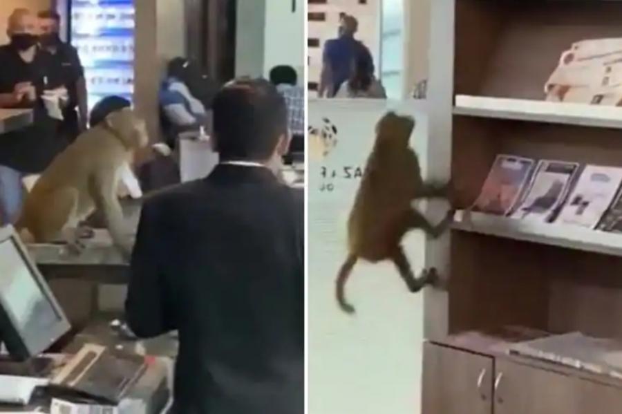 https: img.okezone.com content 2021 10 08 406 2483347 heboh-monyet-muncul-di-bandara-masuk-ke-bar-dan-panjat-rak-buku-CgpLooEC0C.jpg