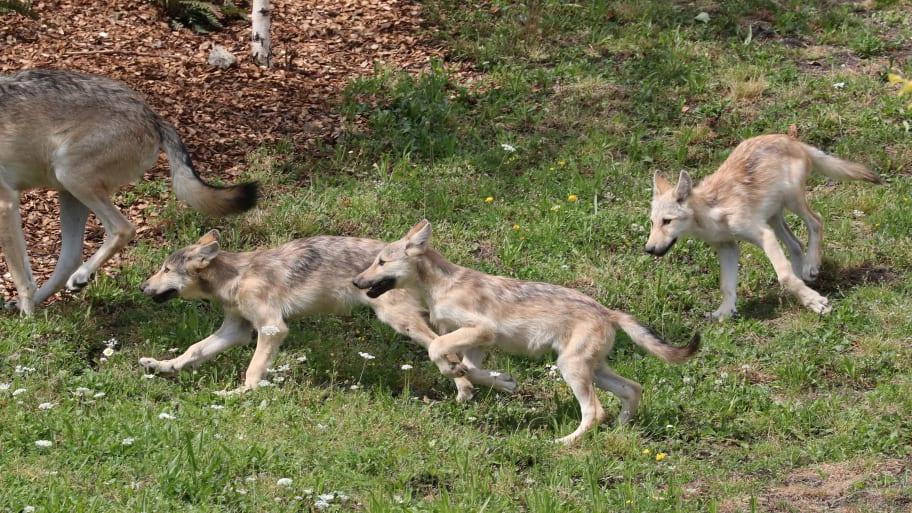https: img.okezone.com content 2021 10 13 18 2485566 8-anak-serigala-dibunuh-agen-federal-siswa-tulis-surat-ke-biden-Oywm4Lzr50.jpg