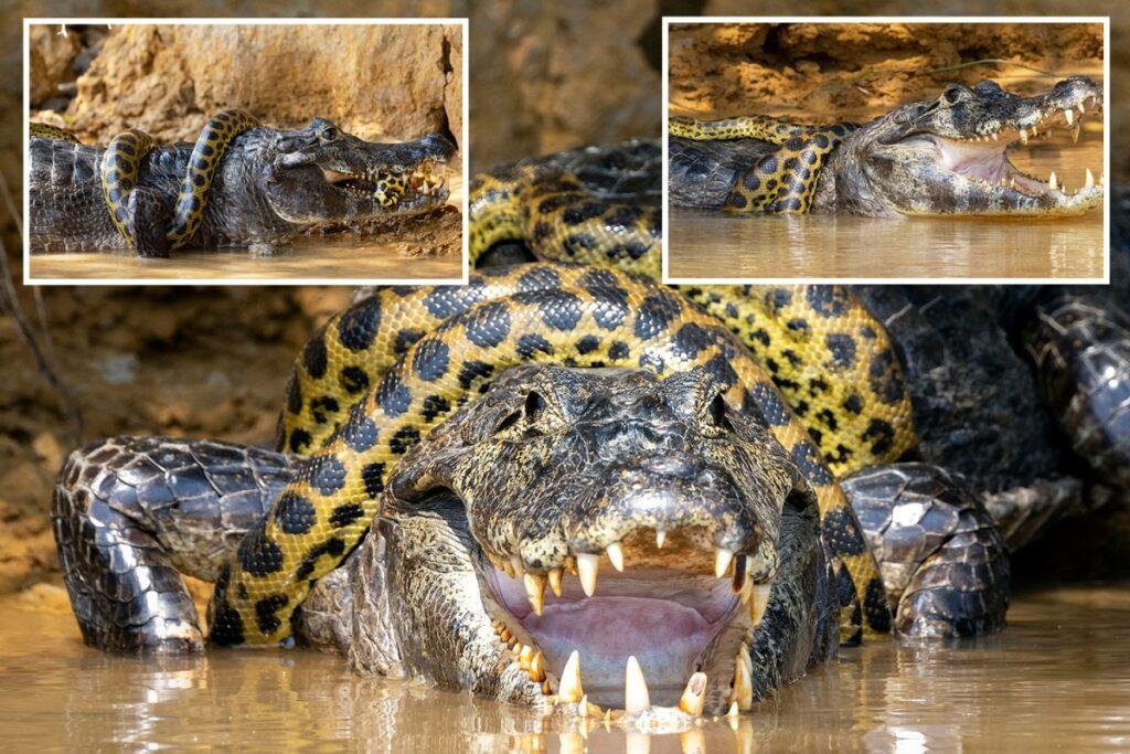 https: img.okezone.com content 2021 10 13 406 2485908 ngeri-pertarungan-mematikan-anaconda-vs-buaya-caiman-terekam-kamera-siapa-pemenangnya-1IvFhkbUaH.jpg