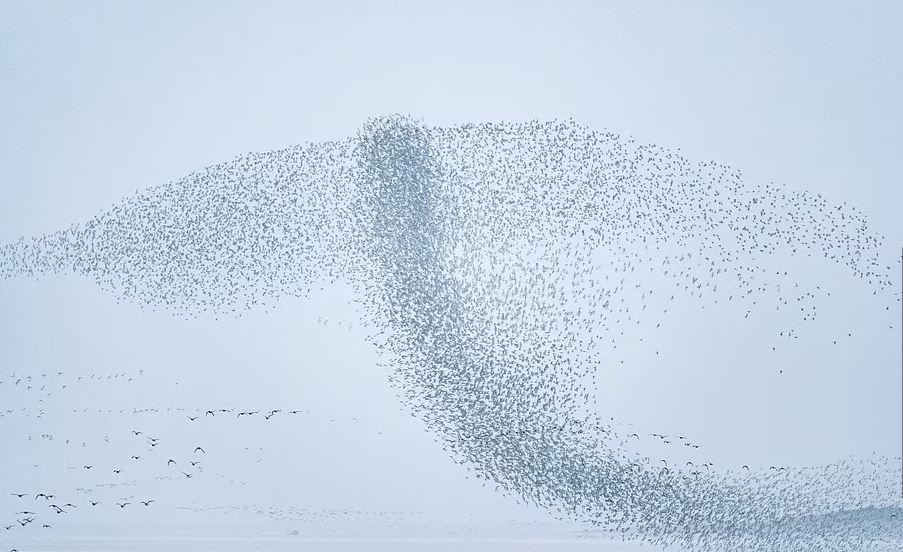 https: img.okezone.com content 2021 10 14 406 2486339 keren-kawanan-burung-ini-terbang-dalam-formasi-membentuk-sirip-paus-vubWDSIToh.JPG