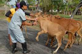 Ratusan Sapi Dievakuasi dari Bantaran Sungai Aceh