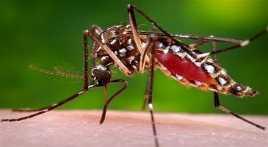 Nyamuk Demam Berdarah Menyerang Kota Blitar