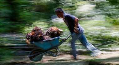 Produktivitas Perkebunan Kelapa Sawit Dinilai Masih Rendah