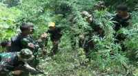 TNI Temukan 20 Hektare Ladang Ganja di Madina