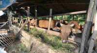 Pemerintah Bakal Bagi-Bagi Ternak