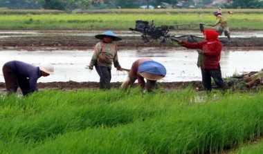 \Wilayah Panen di Bali Diperkirakan Turun 1.419 Hektare\