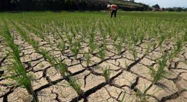 \El Nino Tahun Ini Berdampak Pada Tanaman Padi\