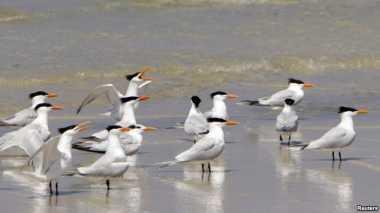 90% Burung Laut Ternyata Makan Plastik