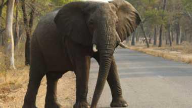 Seharusnya Sudah Punah, Ini yang Membuat Gajah Bertahan