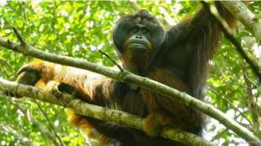 Orangutan Pemakan Daging Ditemukan di Kalimantan