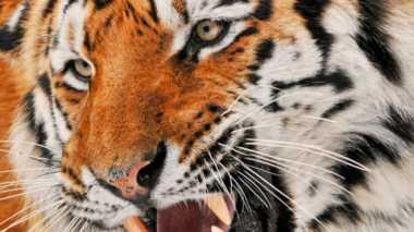 Menyedihkan, Kucing Terbesar di Dunia Terancam Punah