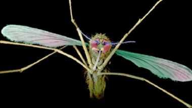 Ilmuwan Kembangkan Nyamuk Mutan Hasil Rekayasa Genetika