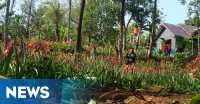 Pemilik Taman Amaryllis Gunungkidul Untung Rp5 Juta Sehari