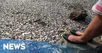 Bau Busuk Ikan Mati Masih Tercium di Ancol