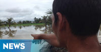 Banjir di Bengkulu, Ratusan Hektare Padi Usia 1 Bulan Hanyut