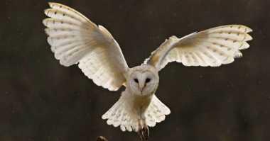 Alasan Burung Hantu Terbang Lebih Senyap