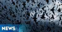 Diserbu Ribuan Kelelawar, Kota Australia Umumkan Keadaan Darurat