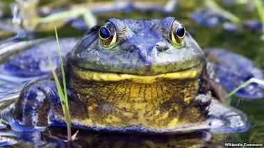 Hewan Amfibi di Amerika Serikat Terancam Punah