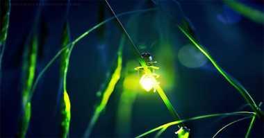 Mengapa Kunang-Kunang Dapat Mengeluarkan Cahaya?