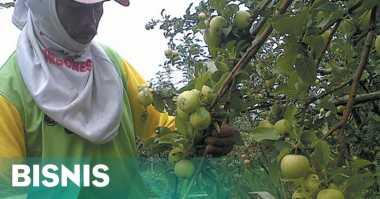 \Cuaca Tak Menentu, Produksi Apel Anjlok\
