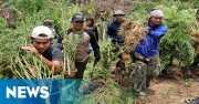 TNI Temukan 2,5 Hektare Ladang Ganja di Tor Sihite Madina