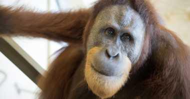 Studi Indianapolis Zoo Ungkap Kemampuan Vokal Orangutan
